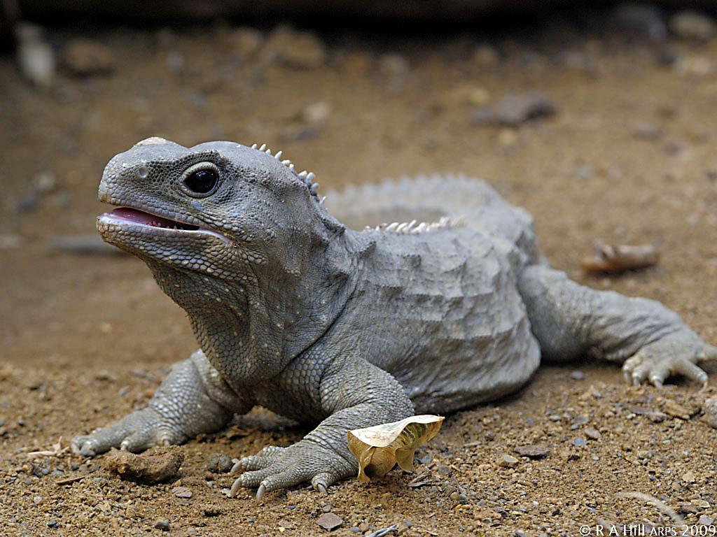 Cercetarile pe reptile dezvaluie secretele implanturilor dentare
